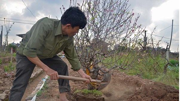 Hướng dẫn cách trồng đào sau tết